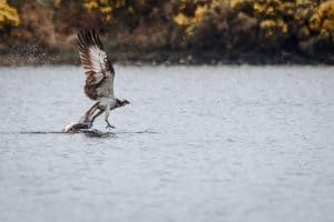 Loch Rusky Osprey Catching a Trout