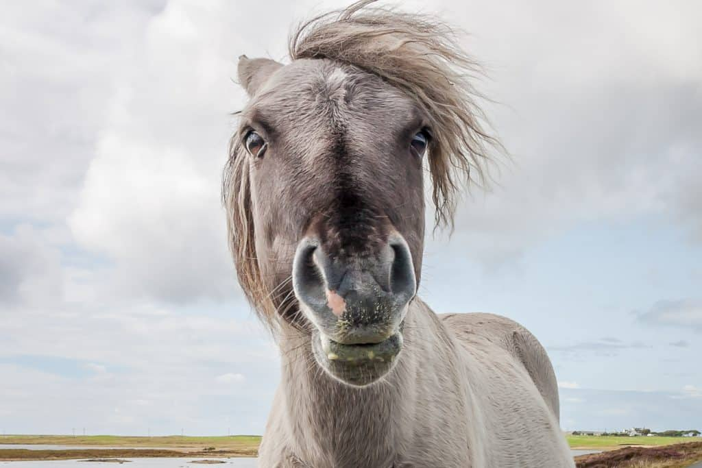 Shetland Pony (from South Uist)
