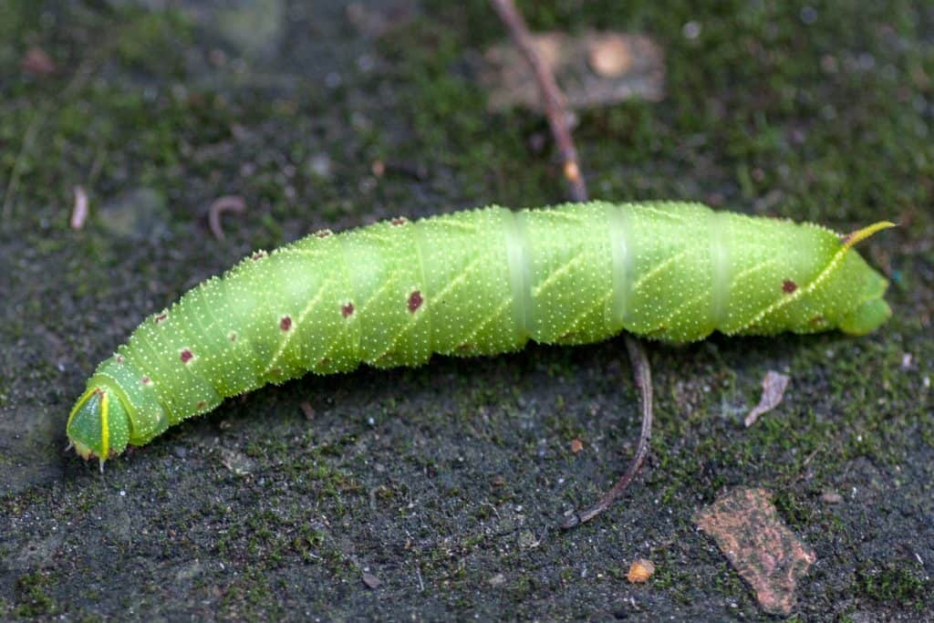 Hawkmoth Caterpillar
