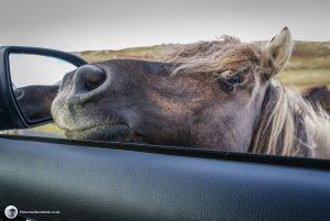 Shetland ponies, Loch Druidibeg