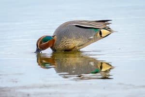 Teal Duck