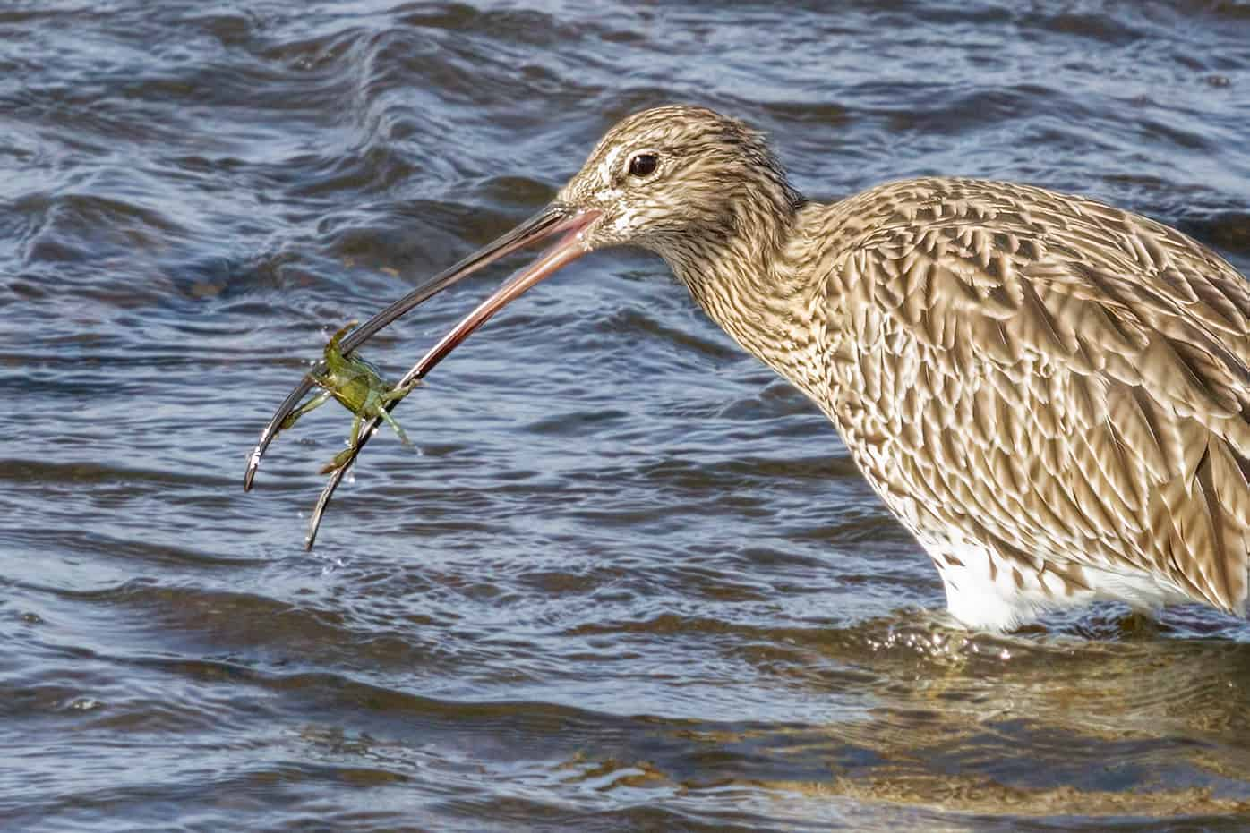 So that's Why Curlews Have Such a Long Beak!