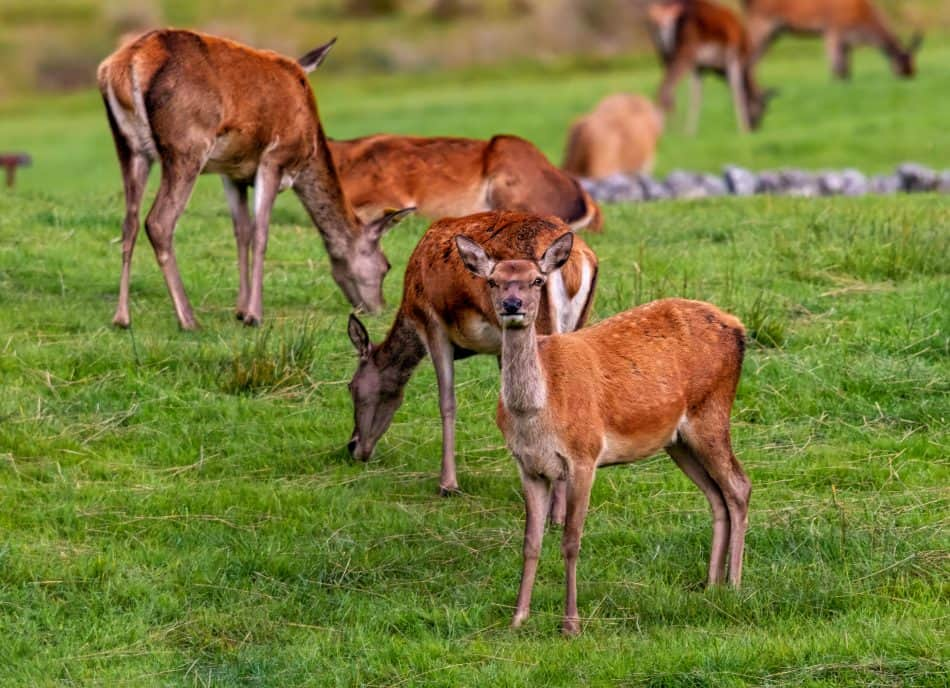 Red Deer Hinds