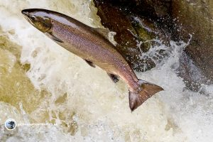 Leaping Salmon Buchanty Spout