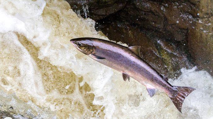 Leaping Salmon, Buchanty Spout