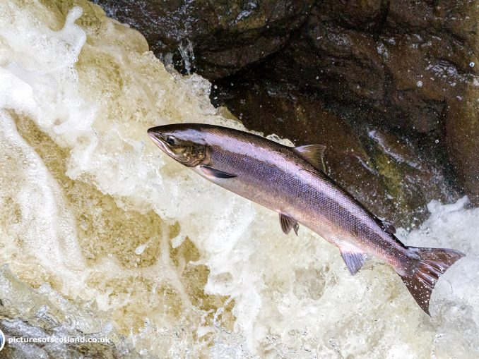 Leaping Salmon, Buchanty Spout
