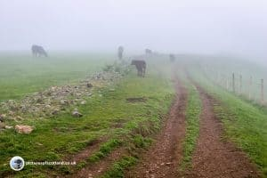 Scald Law - cattle in the mist