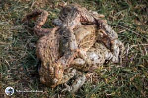 Mating Toads