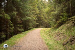 Bracklinn Falls pine forest